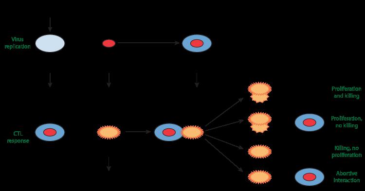 Population Dynamics Of Immune Responses To Persistent Viruses